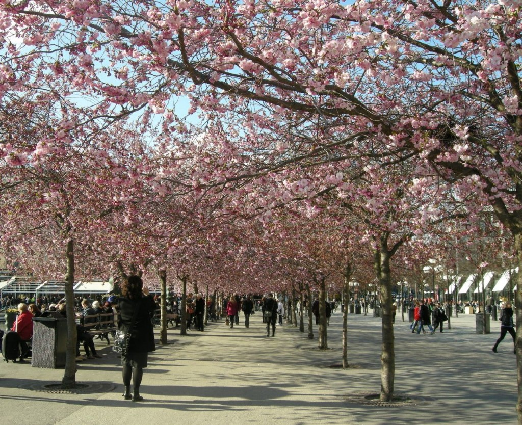 körsbärsblomorna