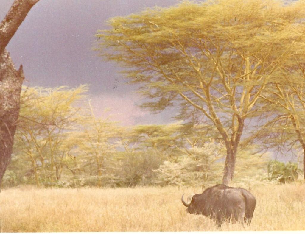 buffel regnsky