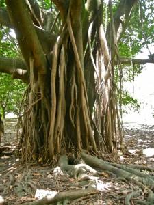 träd i ipuera