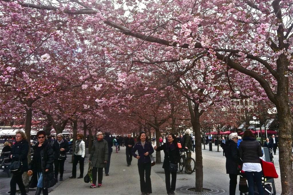 körsbärsblom i kungsan
