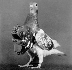 Pigeon fitted with a camera